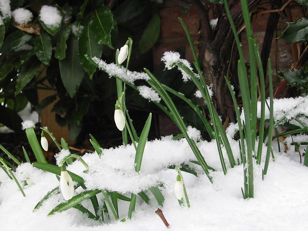blossom snow1