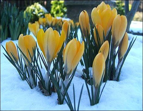crocus yellow